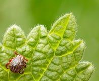 Tiquetaque do parasita Foto de Stock Royalty Free