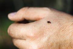 tiquetaque Duro-corpóreo do Ixodidae da família na pele da mão humana, ácaro perigoso imagem de stock royalty free