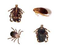 Tiquetaques e pulga Fotografia de Stock Royalty Free