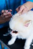 tiquetaques nas orelhas do cão Fotos de Stock