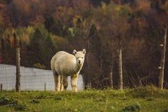 Tiré d'un lama blanc derrière une barrière image libre de droits