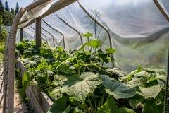 Tiré de l'élevage d'usines de concombre Images libres de droits