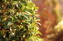 Tiré de l'herbe d'arbuste au soleil rayonne Images stock