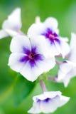 Tiré de la fleur de pétunia Photographie stock libre de droits