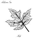 Tiré par la main d'Autumn Maple Leaves sur le fond blanc illustration stock