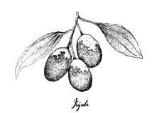 Tiré par la main des fruits de jujube sur le fond blanc illustration de vecteur