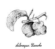 Tiré par la main des fruits frais d'Artocarpus Lacucha Illustration Stock