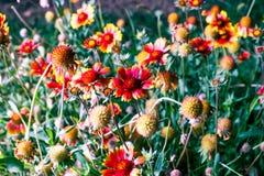 Tir éclairé à contre-jour de floraison de fleurs de marguerite de Gerbera Images stock