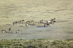 Tir éloigné du troupeau de chevaux Photographie stock
