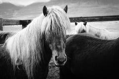 Tir étroit de beaux chevaux sauvages aux cheveux longs image libre de droits