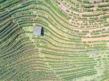 Tir aérien avec d'un bourdon Voler au-dessus de la plantation de fraise Images stock