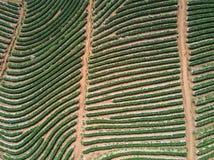 Tir aérien avec d'un bourdon Voler au-dessus de la plantation de fraise Image libre de droits