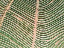 Tir aérien avec d'un bourdon Voler au-dessus de la plantation de fraise Photo libre de droits