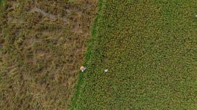 Tir aérien d'un agriculteur qui se déplace le long d'un chemin au milieu d'un grand gisement de riz Concept de cultures de riz Tr clips vidéos