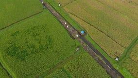 Tir aérien d'un groupe d'agriculteurs qui se déplacent le long d'un chemin au milieu d'un grand gisement de riz Concept de cultur clips vidéos