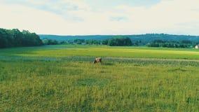 Tir aérien d'un veau ou une petite position de vache sur le champ herbeux vert dans la campagne 4K clips vidéos