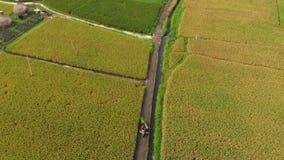 Tir aérien des agriculteurs sur une motocyclette conduisant le long d'un chemin au milieu d'un grand gisement de riz Concept de c banque de vidéos