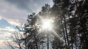 Tir aérien lentement en hausse parmi des arbres avec le soleil brillant  Fusées de lentille, beau lever de soleil Pins luxuriants banque de vidéos