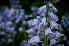 Tir bleu de fleur de Bell macro images stock