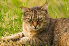 Tir cultivé d'un chat brun Chat regardant au côté Le plan rapproché de chat, verdissent le fond brouillé Photo stock