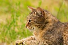 Tir cultivé d'un chat brun Chat regardant au côté Le plan rapproché de chat, verdissent le fond brouillé Images stock