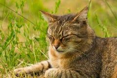 Tir cultivé d'un chat brun Chat regardant au côté Le plan rapproché de chat, verdissent le fond brouillé Photographie stock