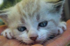 Tir cultivé de petit chaton mignon avec des yeux bleus Chat Image libre de droits