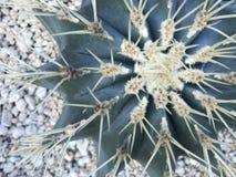 Tir cultivé du cactus vert qui est appelé le ` de grusonii d'echinocactus de ` Images stock
