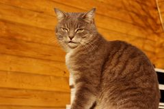 Tir cultiv? de Cat Sitting Over Wooden Background Chat tigr? dehors images stock