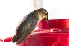 Tir détaillé d'une alimentation d'oiseau de ronflement Image libre de droits