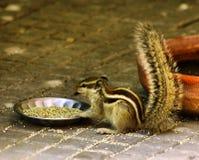Tir d'écureuil Photos libres de droits