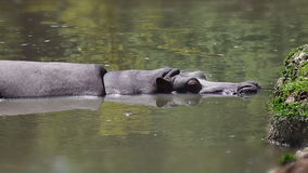 Tir d'un hippopotame de repos avec l'effet supplémentaire de décalage d'inclinaison banque de vidéos