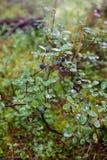 Tir de bilberrymacro de myrtillus de vaccinium image stock