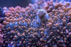 Tir de corail de Ricerdea macro de sa bouche Photo libre de droits