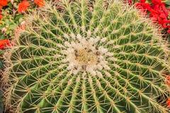 Tir de dessus de cactus de baril d'or Photo libre de droits