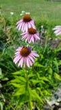 Tir de foyer sélectif d'une abeille de gaffer se reposant sur une fleur Photographie stock libre de droits