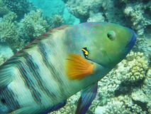 Tir de macro de wrasse de Broomtail Images stock