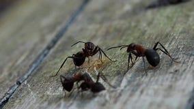 Tir de plan rapproché de fourmis Les fourmis dans les bois ont trouvé une fourmi morte pour la manger banque de vidéos