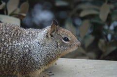 Tir de profil d'écureuil moulu Photos libres de droits