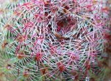 Tir de rigidissimus d'Echinocereus de cactus d'arc-en-ciel macro des WI d'épines Image libre de droits