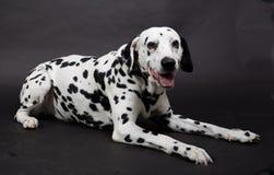 Tir de studio avec un chien dalmatien photographie stock libre de droits