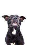 Tir de studio de bull-terrier du Staffordshire Image stock