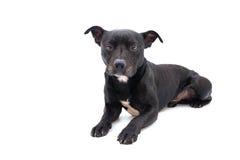 Tir de studio de bull-terrier du Staffordshire Images stock