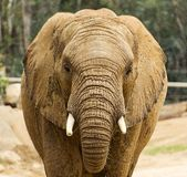 Tir de tête d'éléphant africain Photographie stock
