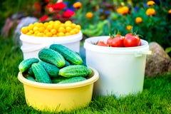 Tir des seaux de tomates rouges mûres fraîchement sélectionnées, de concombres et de petites prunes jaunes Image libre de droits
