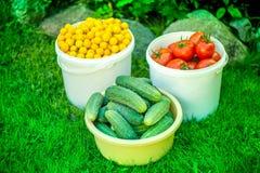 Tir des seaux de tomates rouges mûres fraîchement sélectionnées, de concombres et de petites prunes jaunes Photos libres de droits