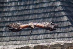Tir dramatique de l'aigle de vol Images libres de droits