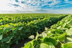 Tir en gros plan d'usines de soja vert, organique mélangé et OGM photographie stock libre de droits