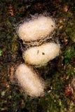 Tir en gros plan de 3 cocons sur l'arbre image stock