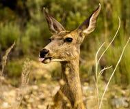 Cerfs communs collant la langue dehors à l'appareil-photo Image libre de droits